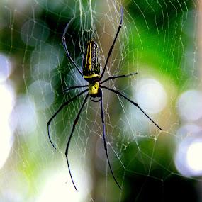 Spider by Praveena Bhat - Novices Only Wildlife