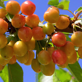 Cherries anyone? by Jackie Eatinger - Nature Up Close Gardens & Produce (  )