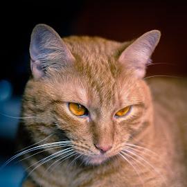 Odo the cat by Cedomil Kolic - Animals - Cats Portraits ( cats, orange, animals, cat, pet, rain )