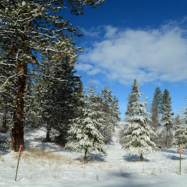 Trees snow blue skies. by Denton Thaves - Landscapes Forests ( forests, blue, sies )