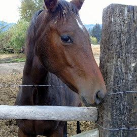 SHY ONE by Cynthia Dodd - Novices Only Pets ( mare, farm, wild, animals, horses )