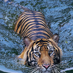 Si Bewok the swim again 3 by Ubayoedin As Syam - Animals Lions, Tigers & Big Cats