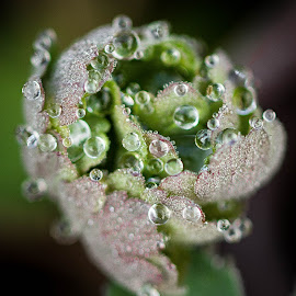 by Eden Meyer - Nature Up Close Natural Waterdrops ( plant, waterdrop, pearls, green, close up )