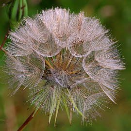 A Fave Seedhead by Chrissie Barrow - Nature Up Close Other plants ( plant, wild, pattern, green, jack-go-to-bed-at-noon, brown, meadow salsify, seeds, bokeh, cream, closeup, seedhead )
