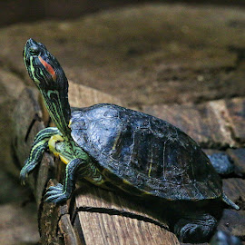 The painter by Brian Homitz - Animals Reptiles ( reptiles, red, painted turtle, yellow, reptile, turtle, black,  )