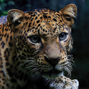 Leopard's awareness by Esther Pupung - Animals Lions, Tigers & Big Cats (  )