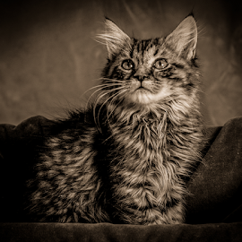 At attention by Myra Brizendine Wilson - Animals - Cats Portraits ( cat, foster kitty, cat in sepia, feline, kitty,  )