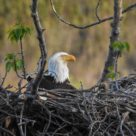 Nesting Eagle by Patricia Phillips - Nature Up Close Hives & Nests ( eagles birds nests  alaska )