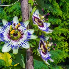Trio of Passion Flowers by Lajos E - Flowers Flower Gardens ( plant, blooming, green, passiflora, plants, bloom, blossom, blue, summer, flowers, garden, caerulea, passion, flower,  )