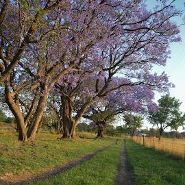 Jacarandas by Danette de Klerk - Uncategorized All Uncategorized ( jacarandas, purple, purple flowers, trees, landscape )