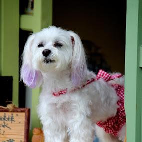 Fashionista Dog by Kai Jian - Animals - Dogs Portraits