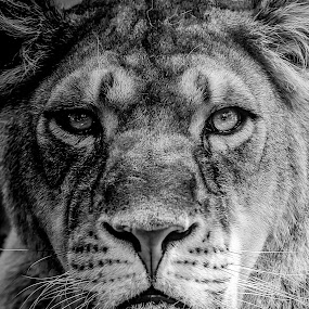 Portrait  by Alessio Coluccio - Black & White Animals ( lioness, portrait, animal )