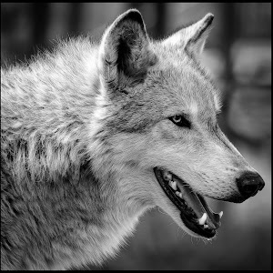 Gray Wolf-32.jpg