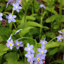 Wood forget-me-no