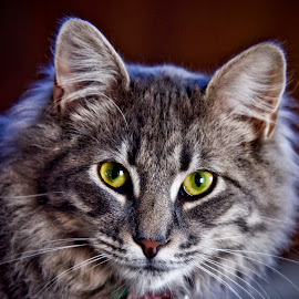 Taco by Jim Antonicello - Animals - Cats Portraits ( cat, eyes )