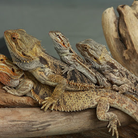 We Are Family by Lyle Hatch - Animals Reptiles ( reptiles, animals, scales, family, humor, claws, group, log, lizards, portrait, bearded dragons,  )