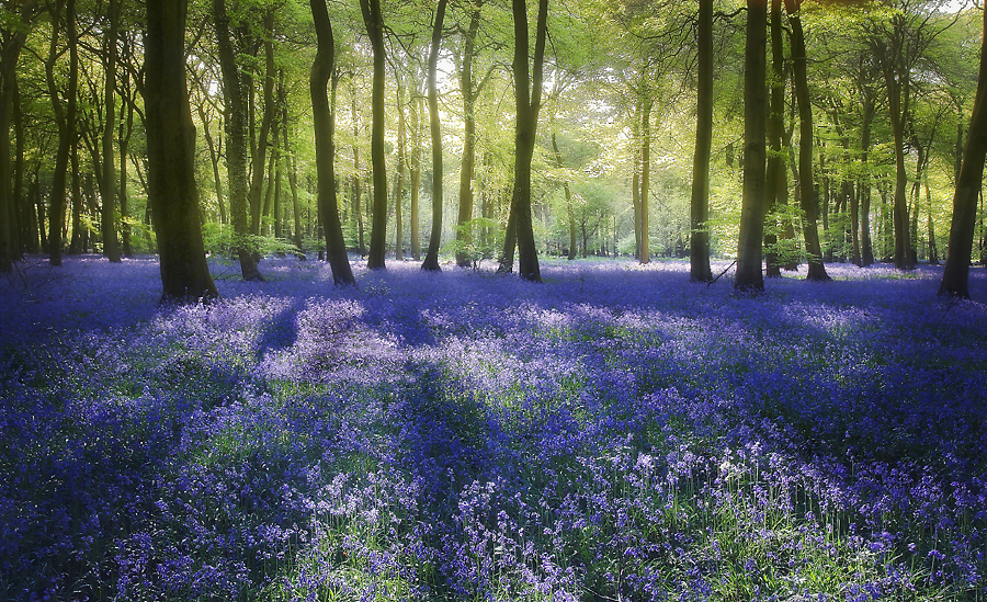 Bluebell Woods by Ceri Jones - Landscapes Forests ( forests, trees, woods, bluebells )