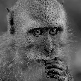B&W monkey by Francois Wolfaardt - Black & White Animals ( macaque, b&w, nature, mamal, close-up, monkey, animal, eyes )