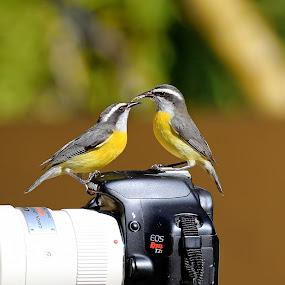 Cambacicas! by Itamar Campos - Animals Birds
