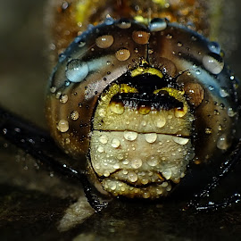 Migrant Hawker  by Pat Somers - Animals Insects & Spiders