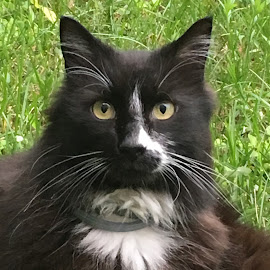 Black and White Cat by Kristine Nicholas - Novices Only Pets ( cat, kitten, grass, black and white, green, tuxedo cat, eyes, cats, black and white cat, tuxedo, pet, pets, feline, kitty, black )