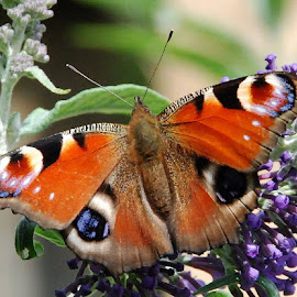 Peacock butterfly. by Kathy Curtis - Animals Insects & Spiders