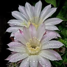 kraljica noci by Dunja Kolar - Nature Up Close Flowers - 2011-2013 ( kraljica noci )