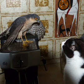 Mexican stand off by Steve Bampton - Animals Other ( cat, bird of prey, indoors, sparrow hawk, birds )