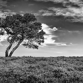 by Darrell Evans - Black & White Landscapes ( clouds, moorland, flowers & plants, black and white, flora, yorkshire, moor, outdoor, lone, landscape, heather )