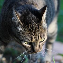 by Suzana Svečnjak - Animals - Cats Playing