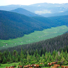 Elk Highlands by Robert Meyers-Lussier - Animals Other Mammals ( mountains, nature, elk, herd, colorado, valley, landscape, trail ridge road )