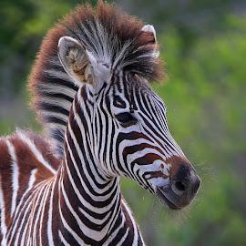 Zebra Foal by Anthony Goldman - Animals Other Mammals ( wild, laondolozi, nature, wildlife, zebra, mammal, profile, foal )