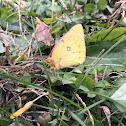 Orange Sulfur Butterfly