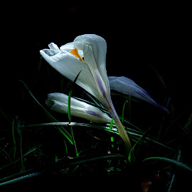 *** by Jurijs Ratanins - Instagram & Mobile Android ( mobilography, nature, crocus, white, plants, flower )