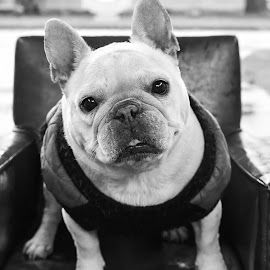 frenchie1 by Jennifer Wollman - Animals - Dogs Portraits ( frenchie, pet photography, dogs, black and white, dog photography, french bulldog )