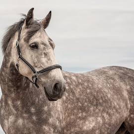 Grey with Halter - Sky Background  by Vicki Roebuck - Animals Horses ( dapples, hore portrait, sky background, grey mare, grey horse, gentle soul )