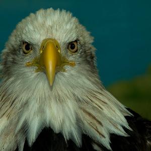 12 an umn eagle.jpg