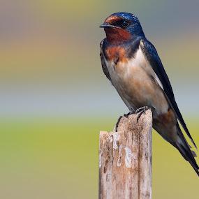Barn Swallow ( Hirundo Rustica) by Rahul Chakraborty - Animals Birds (  )