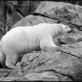 Polar Bear by Dave Lipchen - Black & White Animals
