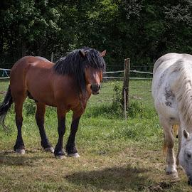 Couple by Nena Volf - Animals Horses ( croatia, lonjsko polje, nature park, horses )