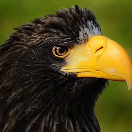 Eagle head by Gérard CHATENET - Animals Birds