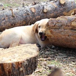 Puppy Teeth by Liz Huddleston - Animals - Dogs Puppies ( retriever, puppies, chew toy, chewing, teeth )