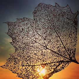 Laceleaf Sunset by Julie Drohan - Nature Up Close Leaves & Grasses ( nature, details, color, sunset, lines, leaf, light, filter )