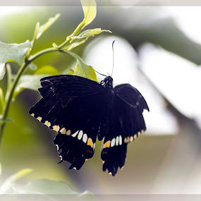 Butterfly by Nikesh Ponnen - Animals Other