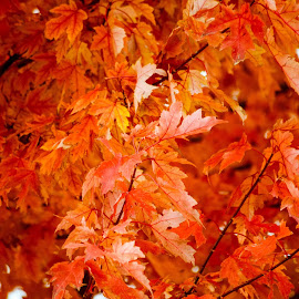 Autum in Missouri  by Deborah Lucia - Nature Up Close Trees & Bushes ( tree, autumn, colors, fall, leaves )