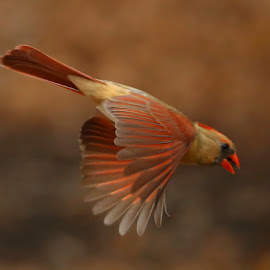 Beautiful Mrs. C by Diane Irwin - Animals Birds ( flying, cardinal, female, colors, wings spread )