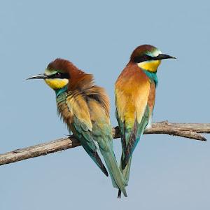 D:\01 GALERIJA FOTO\01 ptice\Čebelar - Rumenogrli čebelar - Merops apiaster\cebelar-13.jpg