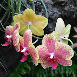 Pink and Yellow Orchids by Michele Kelley - Novices Only Flowers & Plants ( nature, orchids, pink, yellow, flower )
