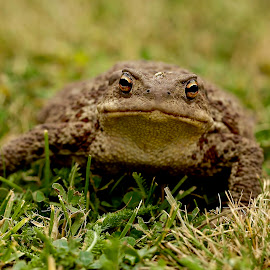 Toad by Pavel Vysoglad - Animals Reptiles