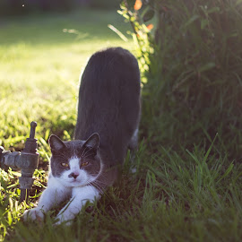 Olivier by Charisse Seymour - Animals - Cats Portraits ( grey and white, kitten, cat, grass, outdoors, play, stretch, feline, garden, kitty )